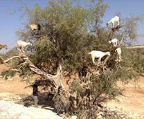 モロッコの黄金 アルガンの木
