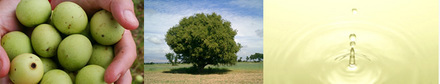 マルラオイル マルラの木